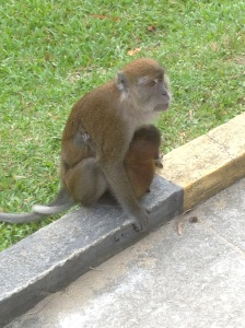 Mom and baby beggar monkeys