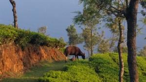 tea-bison